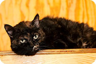 Domestic Shorthair Cat for adoption in Monterey, Virginia - Miss Murray