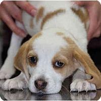 Adopt A Pet :: Adele - Portland, OR