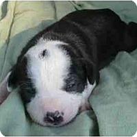 Adopt A Pet :: Puppies - Bakersfield, CA
