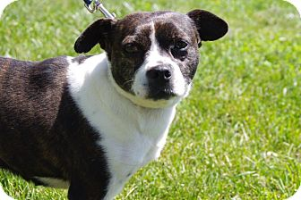 Boston Terrier Mix Dog for adoption in Elyria, Ohio - Mae