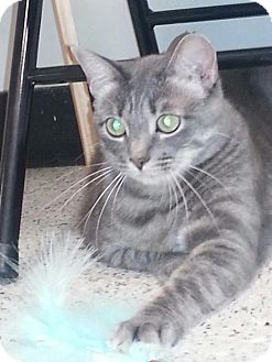 Domestic Shorthair Cat for adoption in Fountain Valley, California - Dora