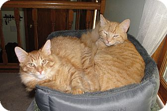 Domestic Mediumhair Cat for adoption in Anoka, Minnesota - Charlie and Mr. Ed