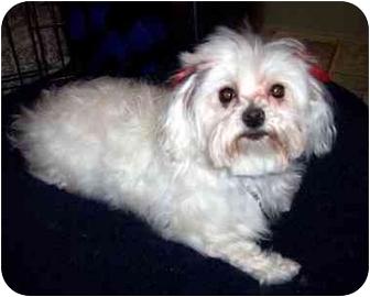 Maltese Dog for adoption in Los Angeles, California - ANGELA
