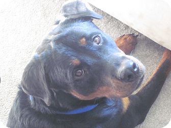 Rottweiler Dog for adoption in Caledon, Ontario - Bo