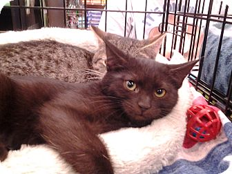 Domestic Shorthair Kitten for adoption in Richmond, Virginia - Midnight