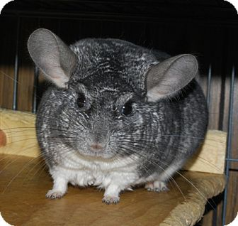 Chinchilla for adoption in Hammond, Indiana - Scampy
