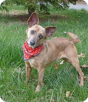 Yorkie, Yorkshire Terrier/Manchester Terrier Mix Dog for adoption in Mocksville, North Carolina - Crissy