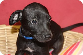 Labrador Retriever Mix Puppy for adoption in Waldorf, Maryland - Kerrigan