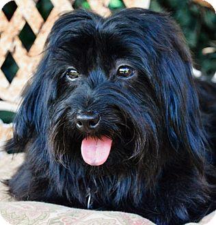 Maltese/Shih Tzu Mix Dog for adoption in Irvine, California - Bee Bee