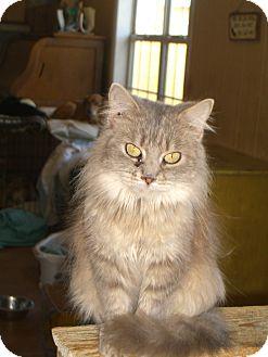 Domestic Mediumhair Cat for adoption in Nashville, Georgia - Ragu