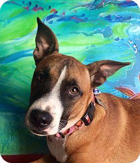 Boxer/Shepherd (Unknown Type) Mix Puppy for adoption in Santa Monica, California - CHELSEA