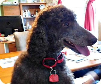 Poodle (Standard) Dog for adoption in moscow mills, Missouri - Mocha ADOPTED!