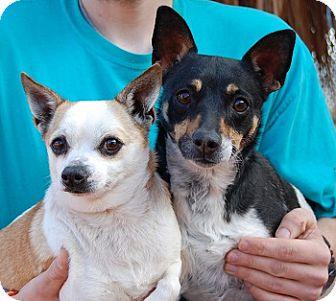Rat Terrier Mix Dog for adoption in Las Vegas, Nevada - O'Ryan