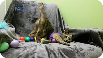 Domestic Shorthair Cat for adoption in Muskegon, Michigan - faith