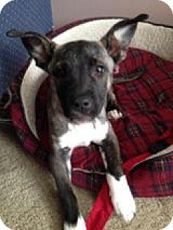 Shepherd (Unknown Type) Mix Puppy for adoption in Newport, Michigan - Roxie