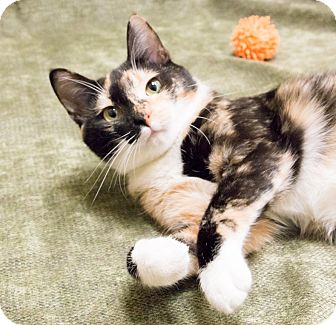 Calico Cat for adoption in Chicago, Illinois - Marzipan