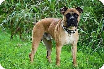 Boxer Mix Dog for adoption in Batavia, Ohio - Outlaw
