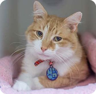 Domestic Mediumhair Cat for adoption in Merrifield, Virginia - Jingle