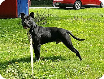 American Pit Bull Terrier Mix Puppy for adoption in South Park, Pennsylvania - Rock (Courtesy Post)