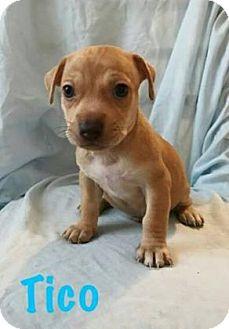 Beagle/Dachshund Mix Puppy for adoption in Georgetown, South Carolina - Tico