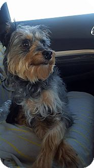 Yorkie, Yorkshire Terrier/Poodle (Standard) Mix Dog for adoption in loxahatchee, Florida - Mason