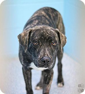 Black Mouth Cur Mix Dog for adoption in Stillwater, Oklahoma - Logan