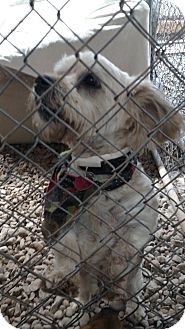 Schnauzer (Miniature)/Poodle (Miniature) Mix Dog for adoption in Benton, Pennsylvania - Kane