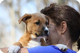 Shepherd (Unknown Type) Mix Puppy for adoption in Sturbridge, Massachusetts - Marty