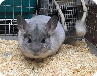 Chinchilla for adoption in Hammond, Indiana - 6m mosaic male chinchilla