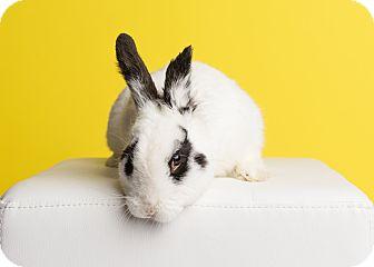 Blanc de Hotot Mix for adoption in Ogden, Utah - Prince Charming of Easterland