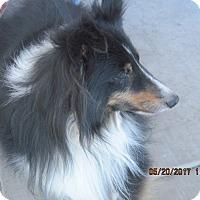 Adopt A Pet :: sadie - apache junction, AZ