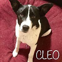 Adopt A Pet :: Cleo - Tempe, AZ