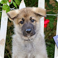 Adopt A Pet :: Sawyer von Sequoia - Thousand Oaks, CA