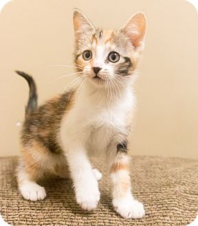 Calico Kitten for adoption in Chicago, Illinois - Florence