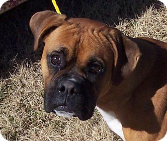 Boxer Dog for adoption in Guthrie, Oklahoma - Urgent Boxer