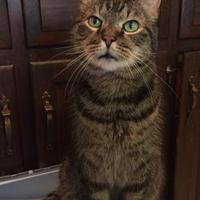 Manx/Domestic Shorthair Mix Cat for adoption in Salem, Ohio - Siena