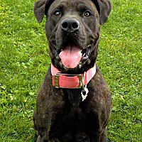 Mastiff/American Pit Bull Terrier Mix Dog for adoption in Cuyahoga Falls, Ohio - R Rescue/LILLIE