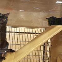 Adopt A Pet :: Niu Niu - Spring, TX