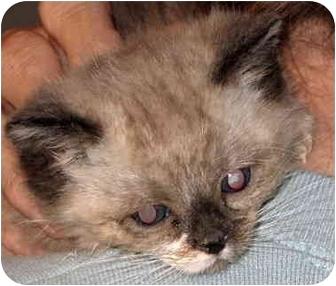 Domestic Mediumhair Kitten for adoption in Alden, Iowa - Luna