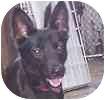 Sheltie, Shetland Sheepdog/Schipperke Mix Dog for adoption in Hamilton, Ontario - Poppy