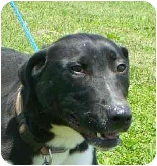 Bull Terrier Mix Dog for adoption in Lexington, Missouri - Rowdy