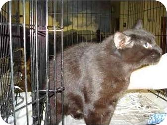 Domestic Shorthair Cat for adoption in Leoti, Kansas - Dr. Pepper**