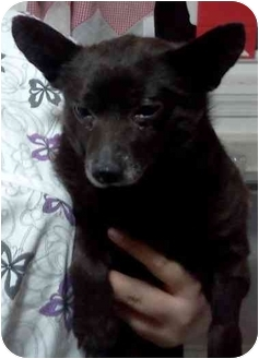 Chihuahua Mix Dog for adoption in Hammonton, New Jersey - black Jack