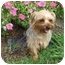 Photo 1 - Yorkie, Yorkshire Terrier Dog for adoption in Conroe, Texas - Twink