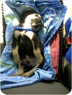 Beagle Mix Puppy for adoption in Haughton, Louisiana - Scout (Lucky Dog Rescue)