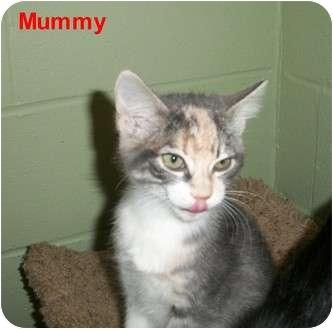 Domestic Shorthair Kitten for adoption in Slidell, Louisiana - Mummy