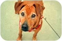 Hound (Unknown Type)/Shar Pei Mix Dog for adoption in Sacramento, California - Linus