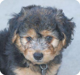 Cocker Spaniel/Dachshund Mix Puppy for adoption in Santa Ana, California - Lewey