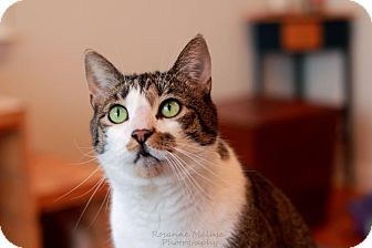 Domestic Shorthair Cat for adoption in Huntington Station, New York - SARGE