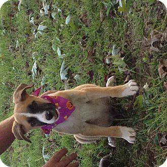 Boxer/Shepherd (Unknown Type) Mix Puppy for adoption in Glastonbury, Connecticut - Jake